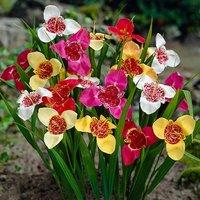 Tigridia pavonia mixed 25 bulbs