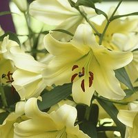 Skyscraper Lily 'Conca d'Or' (yellow) - pack of 5 bulbs size
