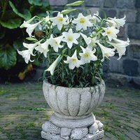 Premium Longiflorum Lily 'White Heaven' - Pack of 10 bulbs size 14/16