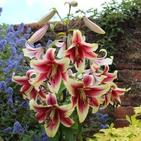 Skyscraper Lily 'Matisse' (Red/Cream) - pack of 5 bulbs