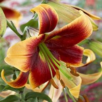 Scented Oriental Trumpet Lily 'Debby' Pack of 5 Bulbs