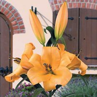 Skyscraper Lily 'Saltarello' (Orange) - pack of 5 bulbs