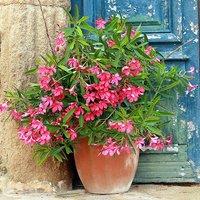 Premium Oleander Standard Pink tree in 20cm pot