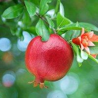 Dwarf Pomegranate bush 3L
