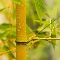 Phyllostachys aureosulcata 'Aureocaulis' (Yellow Bamboo) 80cm tall 2L pot
