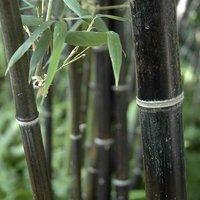 Phyllostachys nigra (Black Bamboo) 2L pot