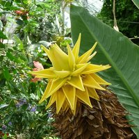 Musella lasiocarpa (Hardy Chinese Banana) plant 30cm tall