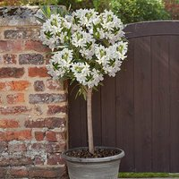 White Oleander Standard tree 80-100cm