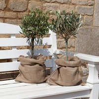 Pair of Mini Olive Standards 6ocm tall in hessian bags