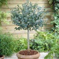 Eucalyptus gunnii Standard Tree 80-100cm Tall in a 3L Pot