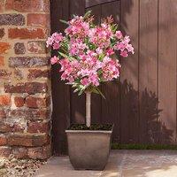 Patio Standard Oleander Pink 60-70cm Tall in 3L Pot