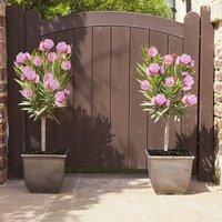 Pair of Pink Oleander Patio Half Standards 60-70cm Tall in 3L pot