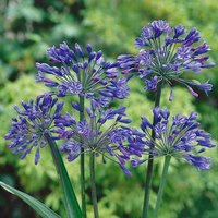Agapanthus africanus Blue in a 5L Pot in Bud