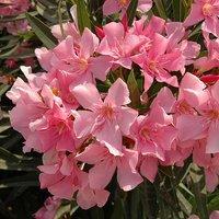 Set of 3 Pink Oleander Bushes in 17cm Pots
