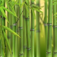 Phyllostachys bissettii (Green Bamboo) 2L