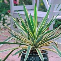 Hardy Yucca gloriosa Variegata 17cm pot