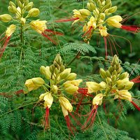 Caesalpinia 3.5L - Yellow Bird of Paradise