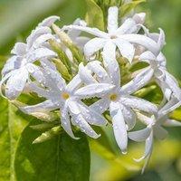 Jasminium multipartitum 3.5L - Starry Wild Jasmine