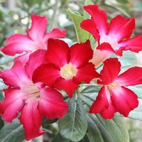 Adenium obesum 14cm pot - Rose of the Desert