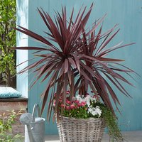 Pair Cordyline Red Star 70cm tall