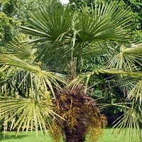 Trachycarpus fortunei c26 1.1-1.2m