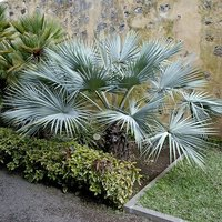 Brahea armata (Blue Palm) 24cm pot 50-60cm tall