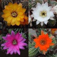 Chamaelobivia Mixed Hardy Cactus 13cm pot