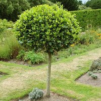 Bay Tree Standard  70-80cm tall