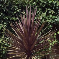 Cabbage Palm Cordyline australis Torbay Red