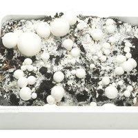 White Mushroom Kit 7.5L