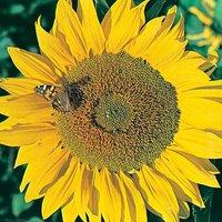 Sunflower Titan Seeds