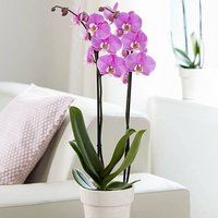 Phaleanopsis Orchid pink 2 stem 12cm pot