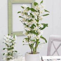 Dendrobium nobile 12cm pot
