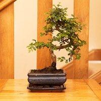 Elm S Shape Bonsai 12cm ceramic