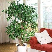 Ficus benjamanica Exotica 21cm pot 90cm tall