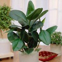 Ficus elastica Robusta (Rubber Plant) 17cm pot 60cm tall