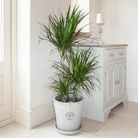 Dracaena Marginata 3 stem 60/30/15cm in  24cm pot 1.3M tall