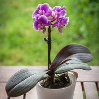 Phalaenopsis Orchid 12cm pot