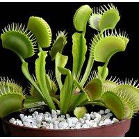 Dionaea muscipula Jumbo 12cm (Venus Fly Trap)
