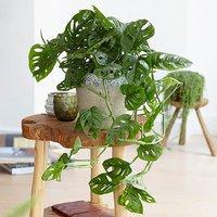 Monstera Monkey Leaf 12cm pot
