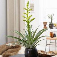 Tillandsia oerstediana 12cm pot