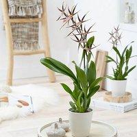 Brassia Shelob Tolkien (Spider Orchid) 12cm p