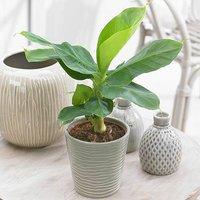 Musa Tropicana (Banana) 12cm pot
