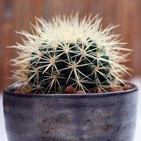 Snow covered Grusonii cactus 12cm