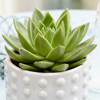 Miranda pearl glitter cactus