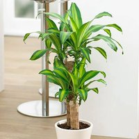 Dracaena fragrans Yellow Coast 17cm 70 - 80cm