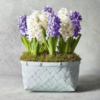 Large Scented British Hyacinths Bulbs Planter Vibrant
