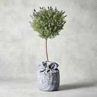 Flowering Lavender Tree Purple, lilac or blue