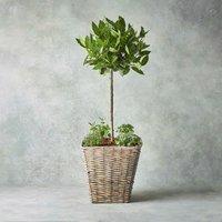 Luxury Potted Bay Tree & Herb Garden Foliage