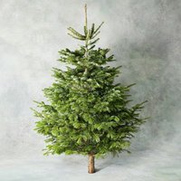 6ft British Nordmann Fir Christmas Tree Foliage